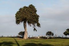 Samotny Monterey Cyprysowy drzewo w losie angeles Jolla, Kalifornia Obraz Royalty Free