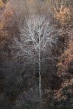 Samotny nagi drzewo w jesieni Zdjęcia Royalty Free
