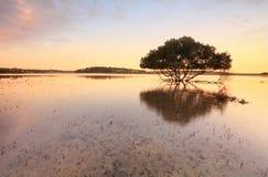 Samotny namorzynowy drzewo i korzenie w pływowych płyciznach Zdjęcia Royalty Free