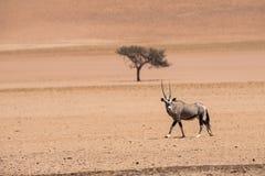 Samotny oryx i samotny camelthorn drzewo zdjęcie stock
