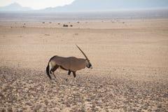 Samotny Oryx w pustynia krajobrazie obraz royalty free