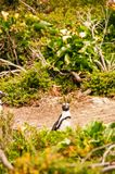 Samotny pingwin w Kamienistym punkcie, Południowa Afryka Zdjęcia Royalty Free