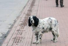 Samotny przybłąkany Angielskiego legartu pies na sideway, Iznik, Bursa, Turcja obrazy royalty free