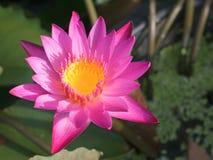 Samotny purpurowy lotosowy kwiat w kanale zdjęcia stock