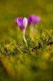 Samotny purpurowy tulipan Fotografia Stock