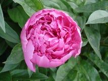 Samotny różowy peonia kwiat 'Amabilis' Fotografia Royalty Free