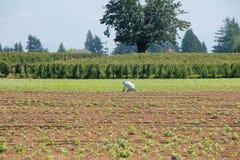 Samotny Śródpolnego pracownika i truskawki pole Fotografia Stock