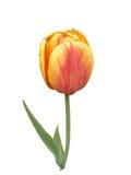 Samotny rudopomarańczowy tulipan na białym tle Obraz Stock