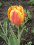 Samotny rudopomarańczowy tulipan na słonecznym dniu Zdjęcie Royalty Free
