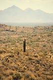 samotny saguaro zdjęcie royalty free