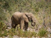 Samotny samiec pustyni słonia karmienie na krzakach w Hoarusib rzecznym łóżku, Namibia, afryka poludniowa Zdjęcie Stock