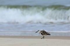 Samotny Sanderling odprowadzenie przy denną krawędzią Zdjęcie Stock