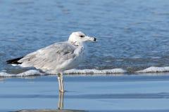 Samotny Seagull Zdjęcie Royalty Free