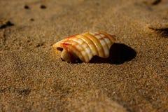 Samotny seashell Zdjęcia Stock