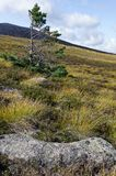 Samotny Sosnowy Scots drzewo obraz stock
