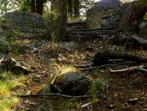Samotny Sosnowy stanu park Fotografia Royalty Free