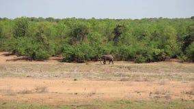 Samotny stary słoń chodzi wokoło zbiory wideo