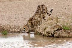 samotny target2465_0_ geparda Obrazy Stock