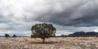 Samotny Utah Cedrowy Jałowcowy drzewo w suchym polu Fotografia Stock