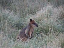 Samotny Wallaby zdjęcie royalty free