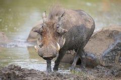 Samotny warthog bawić się w błocie cool daleko Obrazy Royalty Free