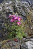 Samotny Wildflower Obrazy Royalty Free