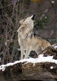 samotny wilk dzwoni jego szturmany fotografia stock