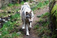 Samotny wilk outdoors zdjęcie stock