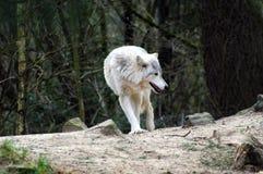 Samotny wilk outdoors zdjęcia stock