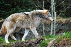 Samotny wilk outdoors obrazy stock