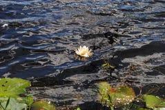 Samotny Wodny Lilly na Choppy wodzie zdjęcie stock