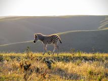 Samotny zebry źrebię przy zmierzchem Fotografia Royalty Free