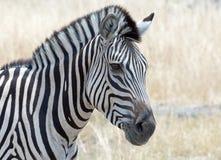 Samotny zebry patrzeć Obraz Stock