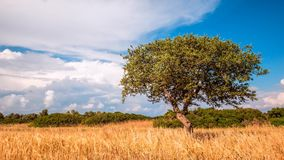 Samotny zielony drzewo na wiejskim niebieskim niebie z i równinie zbiory