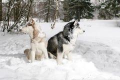 Samoyed και γεροδεμένη συνεδρίαση στο χιόνι Στοκ εικόνα με δικαίωμα ελεύθερης χρήσης