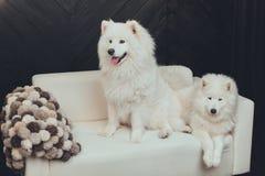 Samoyed, σκυλί στον καναπέ, χνουδωτό Στοκ Φωτογραφία