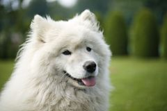 Samoyed στη φύση στοκ εικόνες