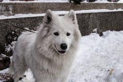 Samoyed играя в снеге Стоковые Фотографии RF