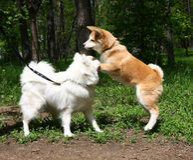 Samoyed и Акита Стоковые Изображения