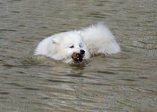samoyed собаки Стоковая Фотография RF