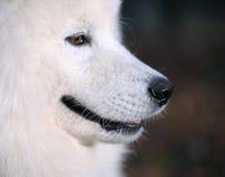 samoyed собаки Стоковое Фото