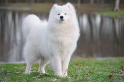 samoyed собаки Стоковая Фотография