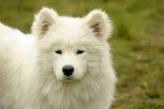 samoyed щенка Стоковое Изображение RF