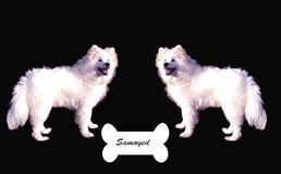samoyed obrazy stock