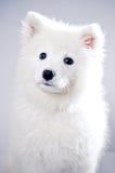 Samoyed Στοκ Εικόνες