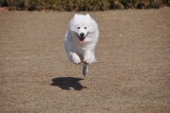 Samoyed Stock Foto