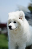 Samoyed Fotografie Stock