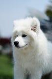 Samoyed Στοκ Φωτογραφίες