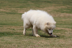 Samoyed Stockfoto