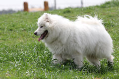 Samoyed Stock Image